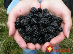 A gift of 6 blackberry plants in was the beginning of growing blackberries for profit into a blackberry farm with more than plants. Best Blackberry, Blackberry Plants, Blackberry Recipes, For Your Health, Health And Wellness, Growing Blackberries, Berry Picking, Kombucha, Health Tips