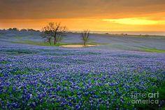 Texas Photograph - Field Of Dreams Texas Sunset - Texas Bluebonnet Wildflowers Landscape Flowers  by Jon Holiday