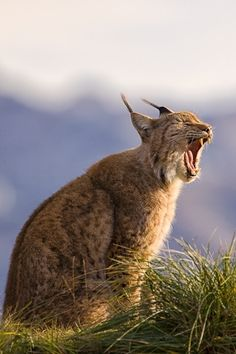 Call of The Lynx by Mario Moreno on 500px