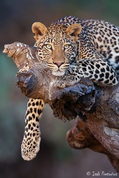 Leopard Stare, Mashatu Game Reserve, Botswana by Isak Pretorius
