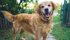 Golden Retriever Corgi Mix – A Unique Designer Dog - My Dog's Name Corgi Dachshund, Corgi Names, Golden Retriever Mix, Retriever Dog, Corgi Mix, Chihuahua Mix, Top Dog Breeds, Most Popular Dog Breeds, Purebred Dogs