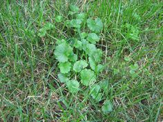 Is Creeping Charlie in your lawn a good thing or a bad thing?