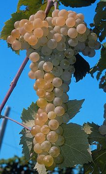 49 Fruit to Bumper Harvest in Autumn for Thanksgiving Fruit And Veg, Fruits And Vegetables, Beautiful Fruits, Beautiful Flowers, Vine Trellis, Wine Vineyards, Fruit Photography, Fall Harvest, Autumn