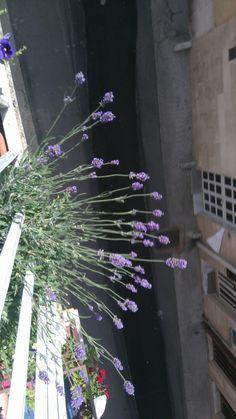 La lavanda sul mio balcone