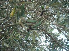 Olivo malattie e parassiti
