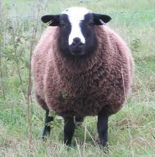 My dream.... to breed Balwen sheep ( welsh rare breed)