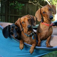 This is an appreciation blog for the wonderful short-legged, long-bodied breed, Dachshunds. ♥ My... #dachshund
