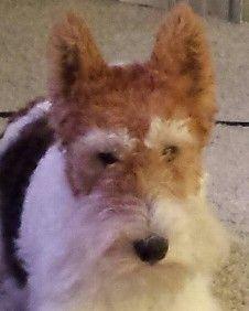 Tucker - Wire Fox Terrier mix w/ poodle Foxy Poo   OMD   Pinterest