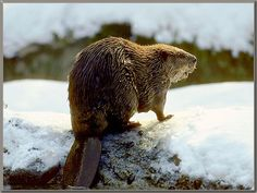 Animal Pictures Archive:: Photo Album for Animals Wild Animals, Baby Animals, Beaver Animal, Baby Beaver, Carosel Horse, Animal Totems, Narnia, Otters, Brown Bear