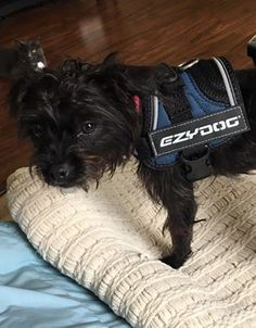 Matilda sporting her new xxs tiny dog convert harness! #tripawds
