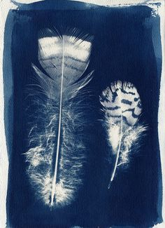 Cyanotype print directly from the feathers themselves. Even the stripes on the feathers came through...