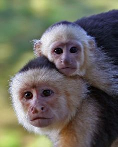 Capuchin Monkeys....I know them well!