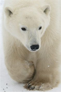 Polar Bear by ucumari photography (Valerie) Churchill Polar Bears, Photo Ours, Animals And Pets, Cute Animals, Wild Animals, Baby Animals, Love Bear, Mundo Animal, Animal Photography