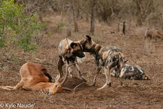 Wild Dogs eating
