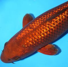 1000 images about koi on pinterest indoor pond koi for Chagoi koi for sale