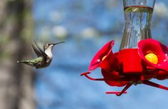 Ruby-throated Hummingbird: 24 April 2015, Falls Church, VA (our backyard), 2:30 p.m., sunny, breezy, 59 degrees