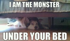 Siberian husky... so true.  The under the bed part, not the monster part!  :)