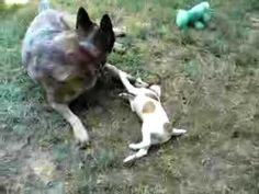 older australian cattle dog babysitting Jack Russell puppy