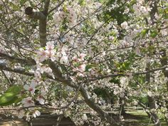 Beautiful cherry blossoms on Wesleyan's campus Macon, GA