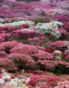 Azaleas in bloom Japon Beautiful Flowers Pictures, Love Flowers, All Nature, Amazing Nature, Sakura, Beautiful Places In The World, Amazing Destinations, Beautiful Gardens, Sasebo Japan