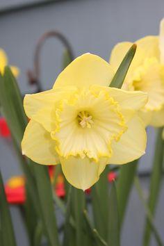 Puyallup Daffodil