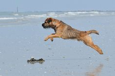 Border enjoying the beach, Wonderful to see! Border Terrier Puppy, Terrier Dogs, Best Dog Breeds, Best Dogs, Dog Beach, Dog Rules, Brown Dog, Family Dogs, Whippet