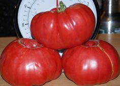 RED Brandywine Tomato .BEEFSTEAK.Heirloom Tomato Seeds - (Our Top Selling Slicing Tomato) Great for Sandwiches, salads,grilling and more !