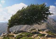 bizarre-natural-phenomenon-tree-growing-bent-in-wind - http://yourvibration.com/pix/18965/