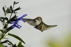 Hummingbird and Salvia_RGB8981 by DansPhotoArt, via Flickr