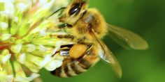Neurotoxic #pesticides harming bees, butterflies and more