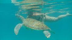 Swimming with #seaturtles. #turtle #schildkröte #turtles #seaturtle #barbados #carribean #snorkelling #underwater #underthesea #diving #karibik