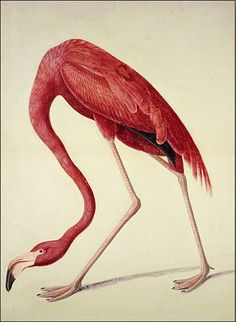 Flamingo: painting by John James Audubon