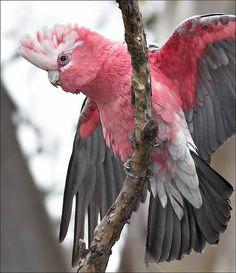 Oh what a beautiful cockatoo. Rose-breasted (Roseate or Galah) Cockatoo ❦ Pretty Birds, Beautiful Birds, Animals Beautiful, Exotic Birds, Colorful Birds, All Birds, Love Birds, Galah Cockatoo, Pink Cockatoo