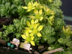 Sedum greggii is a perennial succulent plant with cone-shaped rosettes at the base of the flowering branches. Leaves are alternate...