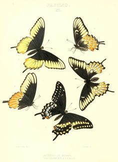 One of hundreds of thousands of free digital items from The New York Public Library. Butterfly Painting, Butterfly Watercolor, Animal Drawings, Art Drawings, Animal Graphic, New York Public Library, Antique Books, Cuddling, North America