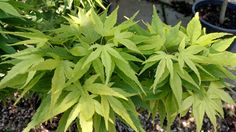 Mikawa yatsbusa Japanese Maple Slow grower, smaller than most but with great big leaves. Big Leaves, Japanese Maple, Gardens, Plants, Acer Palmatum, Garden, Plant, Garden Types, Yards
