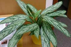 The following five low maintenance beauties will make life at home both healthier and happier.: Chinese Evergreen