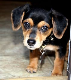 Chiweenie I MUST get this as soon as I get to my new house in al.....no need to even unpack first!