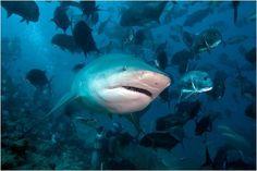 El mundo del tiburón, especie en peligro de extinción