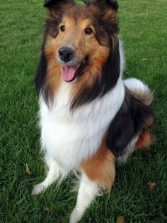 My mom had a dog like this , It was super smart. Sheltie Samso