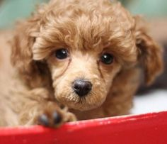 We would like to introduce our best collection of the 71 best dog name ideas for male Poodles. Dog Names Male, Best Dog Names, Best Dogs, Goldendoodle, Poodles, Ideas, Collection, Standard Poodles, Poodle