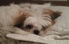 Shih Tzu Shih Tzu, Dogs, Animals, Animales, Animaux, Pet Dogs, Doggies, Animal, Animais