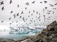 Picture of a flock of birds flying over sea in Svalbard