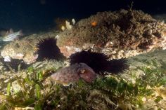 Some of the baby cuttlefish grow up to be big!