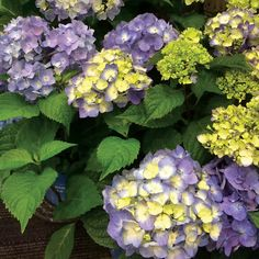 Endless Summer® BloomStruck™ Hydrangea This striking beauty takes the cold hardiness and profuse blooming of Endless Summer® and adds strong red stems and scarlet petioles that give the plant that extra flair!  Plant Height 3 ft - 4 ft Plant Width 4 ft - 5 ft