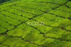 only tea - Wider show of tea fields showing the intricate paths used to wonder through in Kodanad, India.