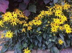 STATUS: Planted (8) Black-eyed Susans, Rudbeckia goldstrum, in a sunny spot under a doug where nothing else has taken hold. Godspeed, little seedlings.