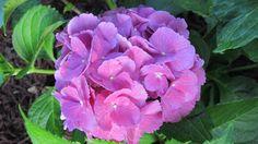 Hydrangea love the color!!!