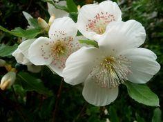 Eucryphia X nymansensis 'Nymansay' Garden Landscape Design, Garden Landscaping, Woodland Garden, Trees, Plants, Gardens, Shrubs, Front Yard Landscaping, Wood