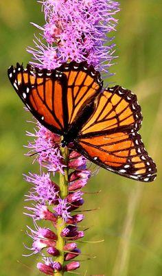 Nature - Monarch but